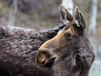 Female moose near Moose Junction - Grand Tetons