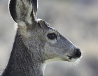 Mule Deer in El Jebel