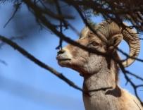 bighorn-colorado