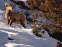 bighorn-ewe-colorado