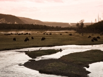 Bisons at Yellowstone