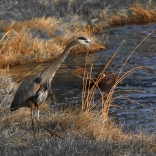 Great Gray Heron - South Yellowstone